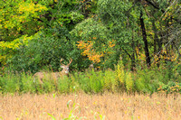 Whitetail Deer Buck - Fall